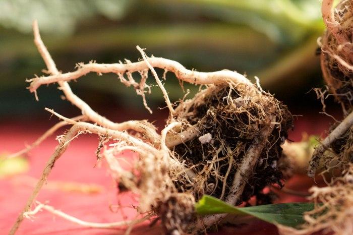 kale roots//wanderaven